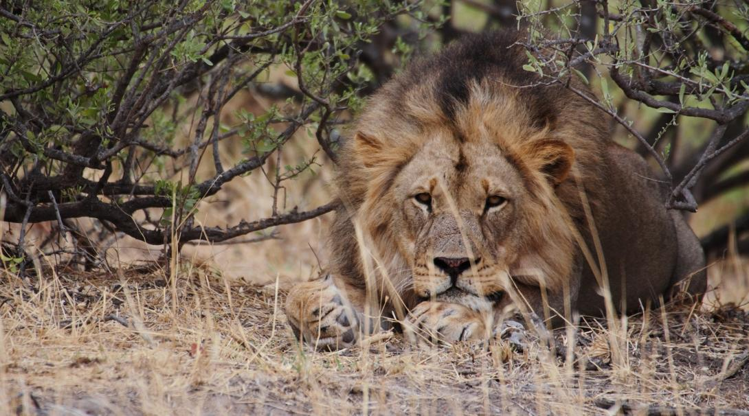 A lion rests in the shade at Wild at Tuli, the reserve where volunteers abroad work on wildlife conservation.